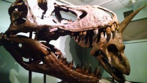 A cast of a fossilized skull of a T-Rex at Philadelphia's Academy of Natural Sciences.